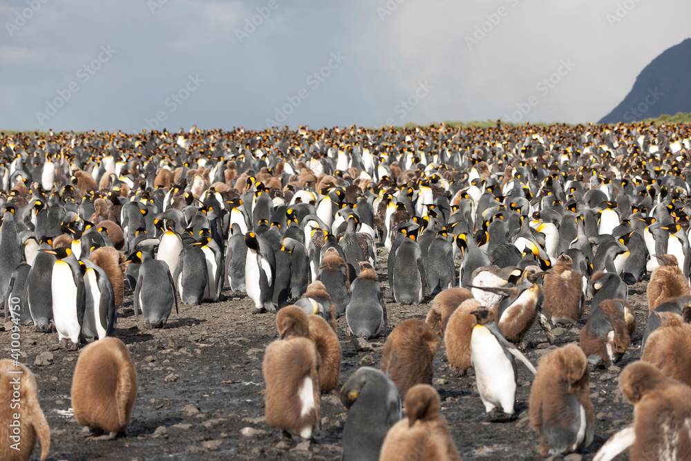 Fototapeta South Georgia colony of king penguins on a sunny winter day