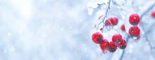 Winter Branch Of Red Berries On A White Snowy Background, Banner.
