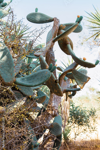 Fototapety, obrazy: Prickly Pear Cactus grows in Cyprus. Opuntia, ficus-indica, Indian fig opuntia, barbary fig