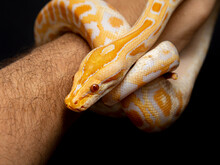 Python Molurus Bivitattus Is One Of The Largest Species Of Snakes. It Is Native To A Large Area Of Southeast Asia But Is Found As An Invasive Species Elsewhere