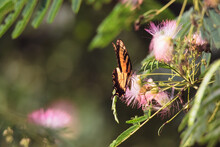 Monarch Butterfly On Pink Fluff Mimosa Flower