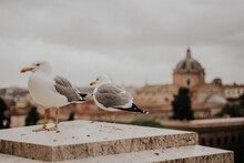 Seagulls Perched On Stairs Of Rome