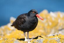 The Black Oystercatcher (Haematopus Ater)