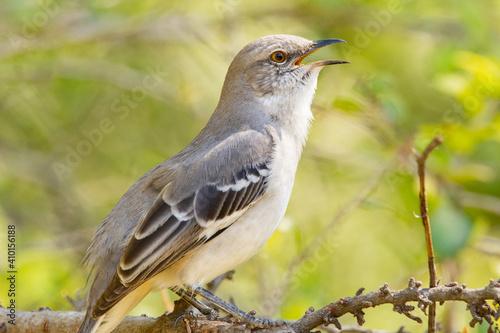 Obraz na płótnie Northern Mockingbird