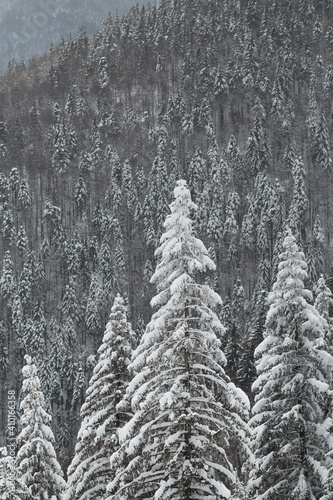 Mountain woods landscape. Fir forest  covered in snow on winter. Natural pattern from trees.