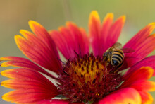 Honeybee, Collects Pollen From A Bright Red Daisy Yellow Flower