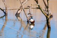 Northern Shoveler Duck Bird Of European River And Lakes