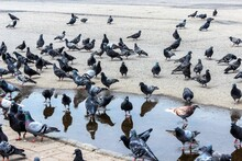 Russia, Kostroma, July 2020. Pigeons Swim In A Puddle In The City Center.
