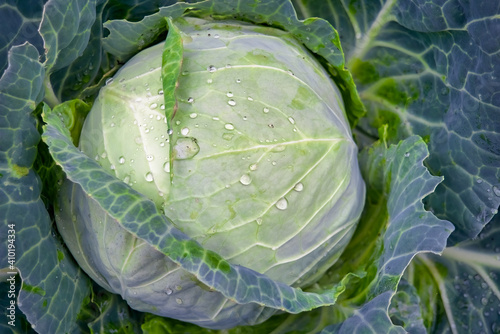 Fototapeta White cabbage growing in the garden with dew drops close-up.