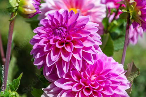 Fotografering Background with detail of natural pink dahlias
