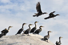 Cormorant Family On A Stone