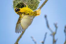 Mask Weaver Flying To It's Nest