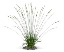 Single Tuft Of Ornamental Grass Isolated On White Background