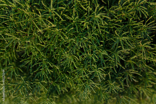 Fotografiet Texture of green bush with small foliage
