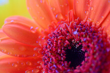 Macro Shot Of Burnt Orange Gerbera Flower With Raindrops On Petals. Close Up Photograph With Bokeh Background. Summer Beauty And Natural Organic Graphic Resource For Screensaver, Canvas, Backgrounds
