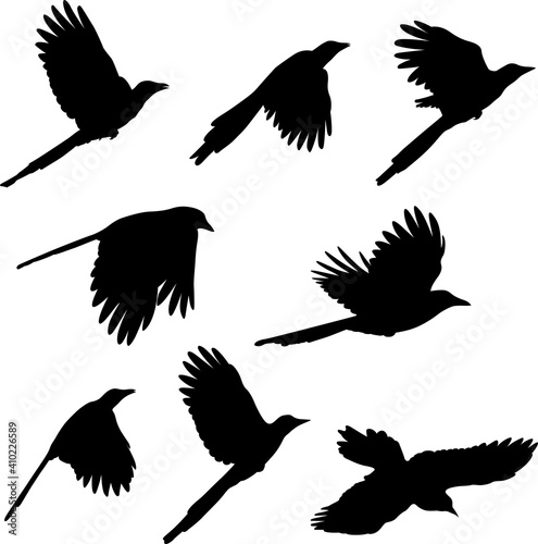 Fotografia magpie , birds silhouettes