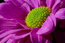 A Deep Pink Gerbera L. A Flower Which Is A Genus Of Plants In The Asteraceae. A Macro Shot Of This Beautiful Daisy Perfect For Backgrounds, Canvas, Screensavers, Quotes. Other Flowers  In Background