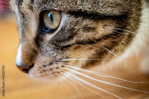 Obraz na plátně Young handsome tabby tomcat, brown and black stripes