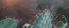 Green Prickly Pear Cactus In Cool Winter Light With Blurred Background For Banner Of Opuntia.