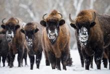 Wild European Bisons