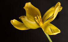 Yellow Tulip Close Up On A Black Background
