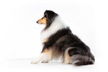 Scottish Collie On A White Background Looking To The Left