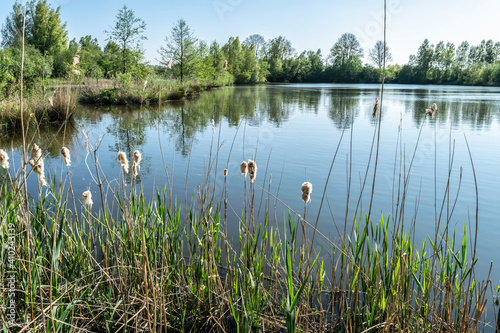 Fototapeta A beautiful evening landscape with a pond, water reflections and marsh sedge plants in the foreground