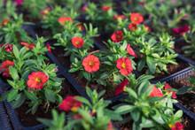 Growing Calibrachoa Plants In Flower Pots In Greenhouse