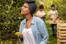 Smiling Black Woman Holding Pear And Checking Out Trees In Orchard