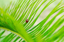 A Cute Lady Bug Crawling On A Sago Palm Frond