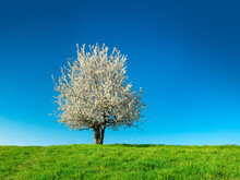 Cherry Tree In Full Bloom On Green Meadow Under Clear Blue Sky In Spring
