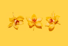 Studio Shot Of Three Heads Of Yellow Blooming Orchid Flowers