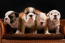 Portrait Of Four English Bulldog Puppies Standing Together In Armchair