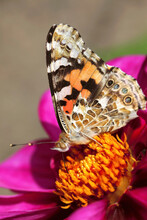 Painted Lady (Vanessa Cardui) Feeding On Blooming Flower
