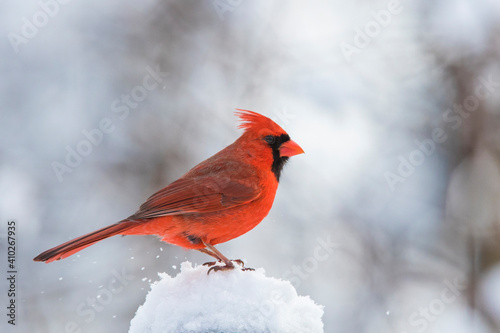 Photo Male  northern cardinal (Cardinalis cardinalis) in winter