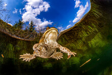 Common Toad (bufo Bufo) Swimming In Weitsee Lake
