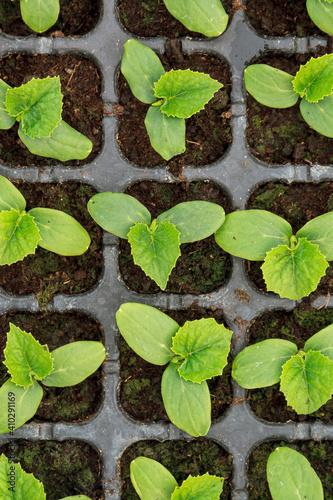 Obraz Cucumber seedlings sprout Young green seedlings for planting - fototapety do salonu