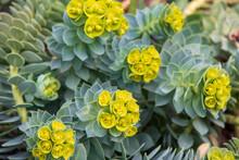 ユーフォルビア・ミルシニテスの花