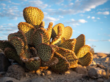 Golden Sunlight On Beavertail Cactus (Opuntia Basilaris) Showing Signs Of Drought Conditions