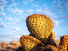 Golden Sunlight On Close Up Of Beavertail Cactus (Opuntia Basilaris) Showing Signs Of Drought Conditions