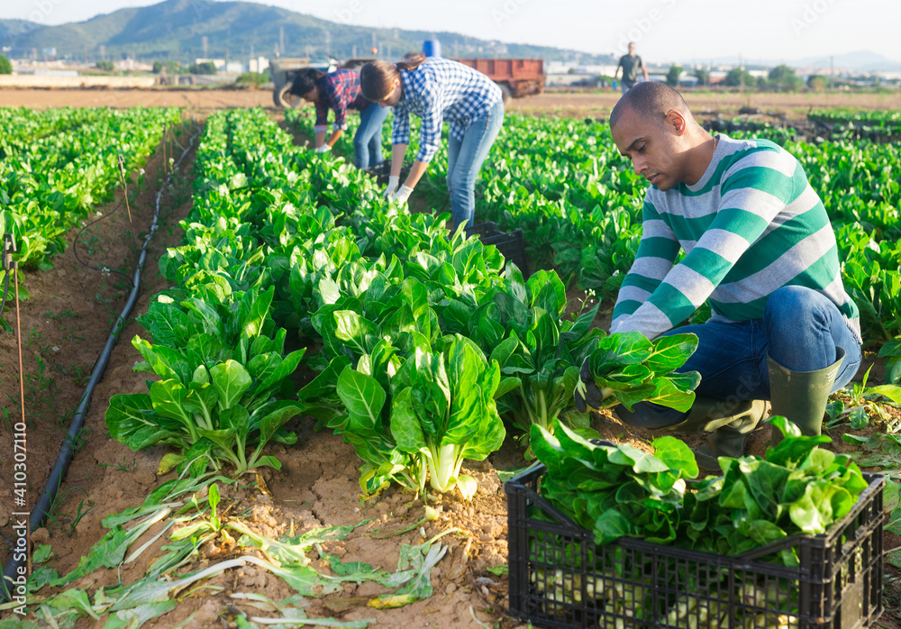 Fototapeta Young adult latino male farmer harvesting green leafy vegetable on field