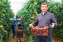 Portrait Of Confident Male Farmer Holding Box Full Of Freshly Picked Tomatoes, Two Latino Gardeners Working On Background