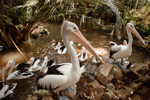 Fotografia View at Australian pelicans (Pelecanus conspicillatus) in Bali bird park in the