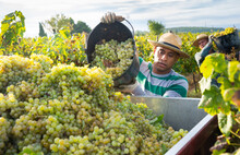 Successful Hispanic Man Owner Of Vineyard Harvesting Ripe White Grapes In Sunny Autumn Day, Pouring Crop From Bucket In Truck.
