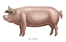 Pig Hand Draw Vintage Engraving Style Clip Art Isolated On White Background