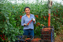 Portrait Of Successful Hispanic Female Farmer Engaged In Cultivation Of Organic Tomatoes In Hothouse, Happy With Rich Harvest