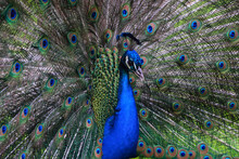 Freeze Frame Of A Peacock With A Gorgeous Multicolored Tail, Unfurled In The Form Of A Fan In A Park On Isola Madre, Italy