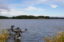 A Group Of Geese Resting During The Migration Trip Near The Coast Of The Baltic Sea In Helsinki, Finland