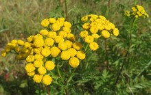 Beautiful Yellow Tansy Flowers In The Meadow
