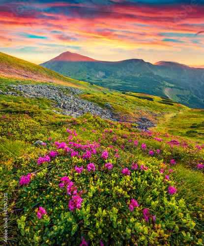 Fototapety, obrazy: Beautiful Carpathians scenery. Blooming pink rhododendron flowers on the Carpathians hills. Stunning summer sunset on Carpathian mountains, Ukraine, Europe. Beauty of nature concept background..